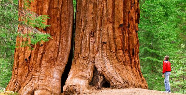 سکویا درخت غول پیکر
