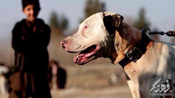 سگ جنگی افغانستان (1)