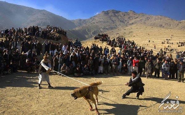 سگ جنگی افغانستان (10)