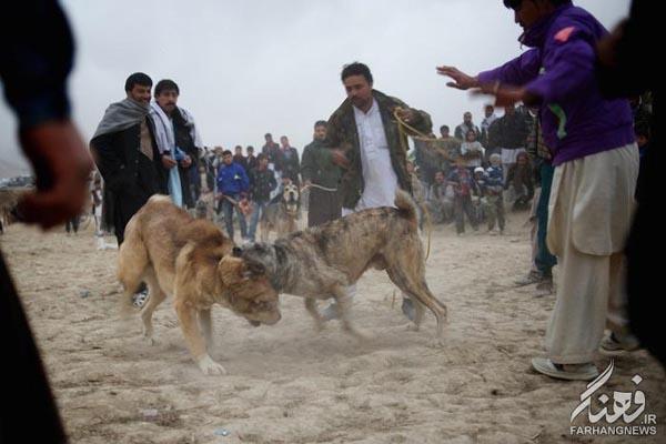 سگ جنگی افغانستان (11)