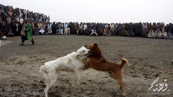سگ جنگی افغانستان (12)