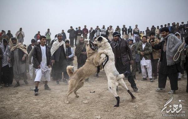 سگ جنگی افغانستان (13)
