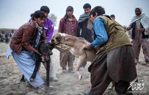 سگ جنگی افغانستان (14)