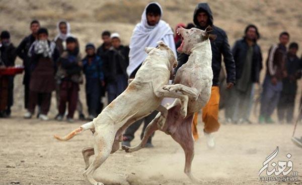سگ جنگی افغانستان (3)