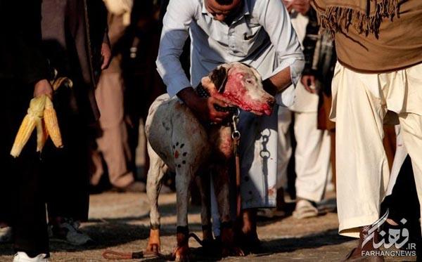 سگ جنگی افغانستان (6)
