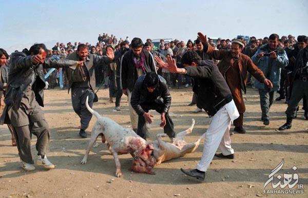سگ جنگی افغانستان (9)
