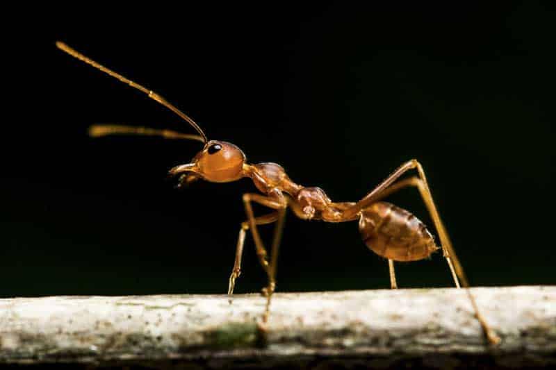صدای مورچه