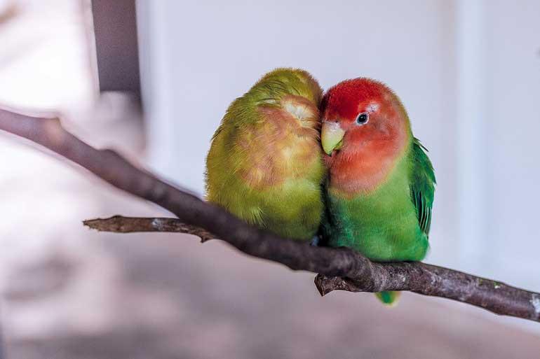 تولید مرغ عشق