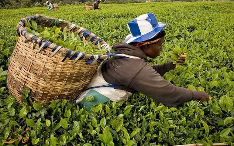 مزرعه چای