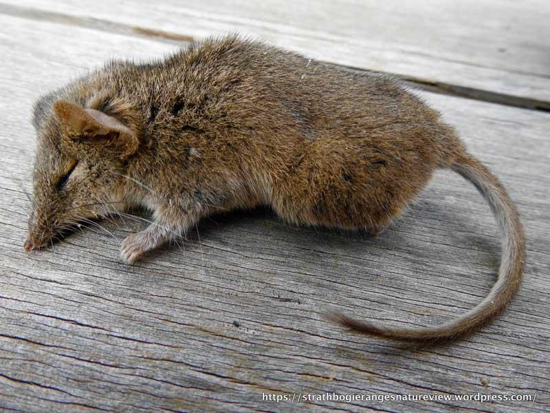 موش آنتچینوس