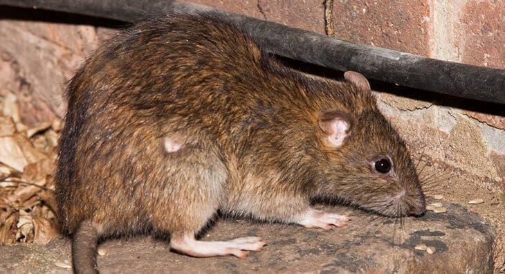 موش فاضلاب