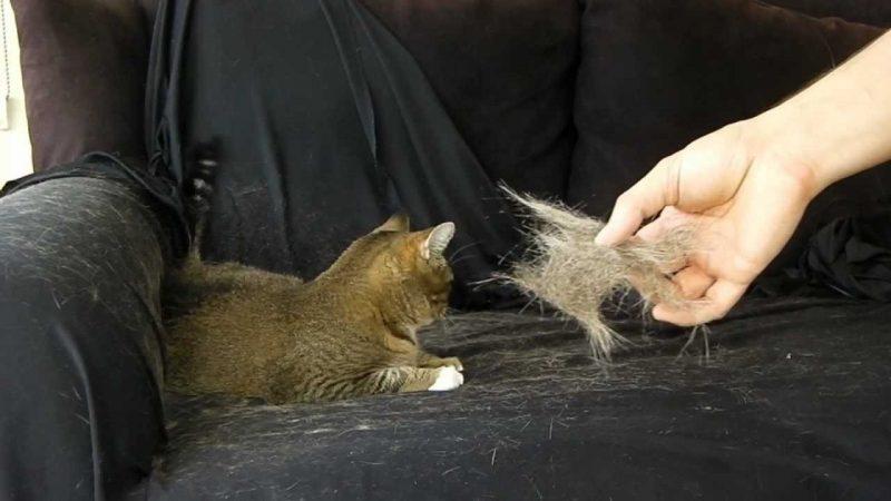 موی گربه