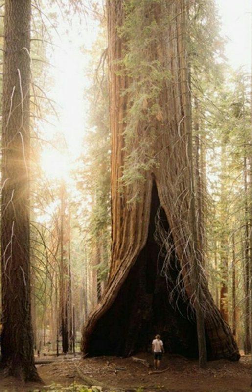 سکویا؛ درخت غول پیکر