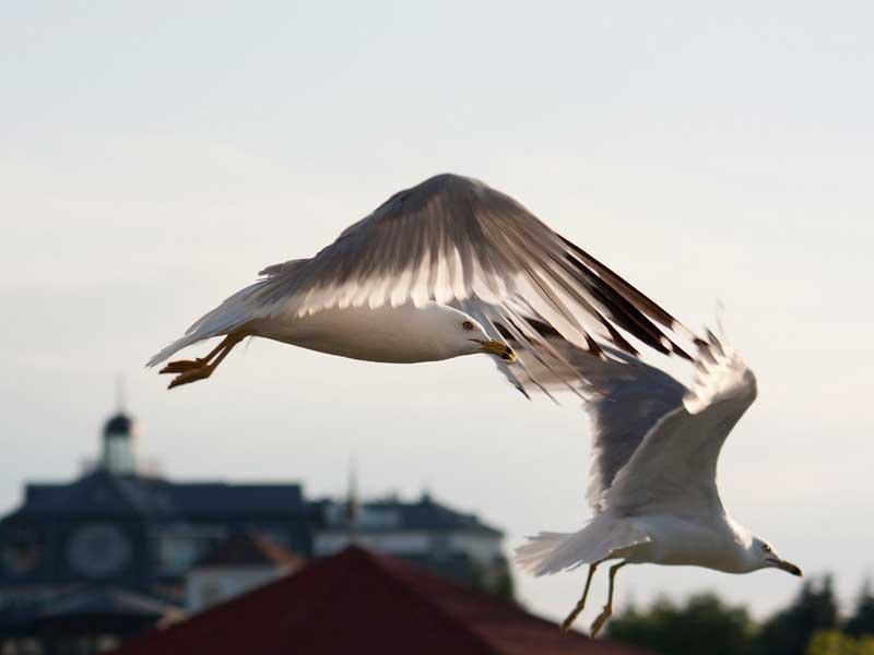 پرنده لایبر