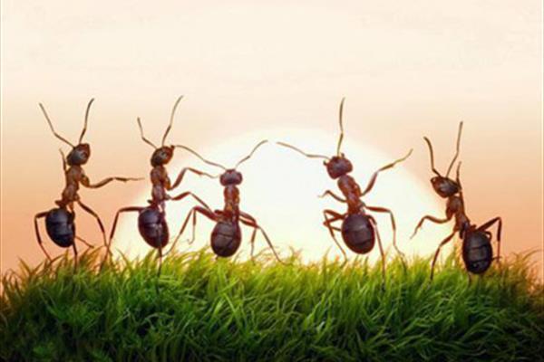 مورچه های آدمخوار