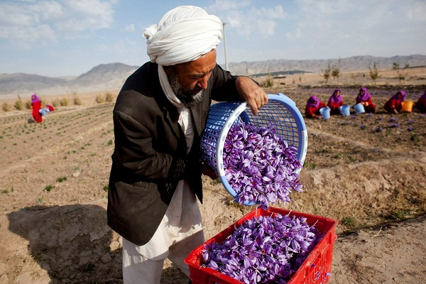 Image result for زعفران افغانستان